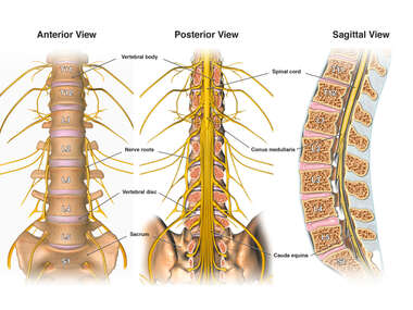 Anatomy of the Spine and Nerves of the Lower Back
