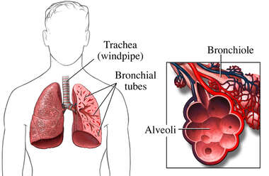 Bronchioles of the Lungs