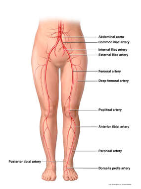Arterial Circulation to the Legs