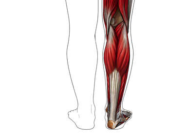 Muscles of the Lower Leg: Posterior (Back) View