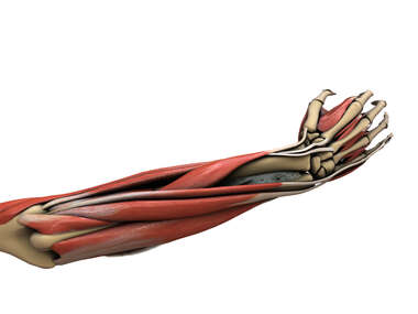 Muscles of Posterior Forearm