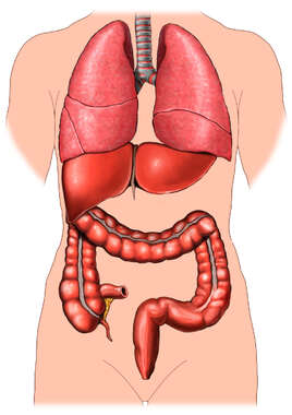 Anatomy of the Large Intestines, Liver and Lungs