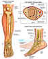 Anatomy of the Left Foot and Ankle with Foot Drop Deformity
