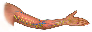 Anterior Nerves of the Arm