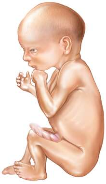 Fetus: (32) Thirty-Two Weeks