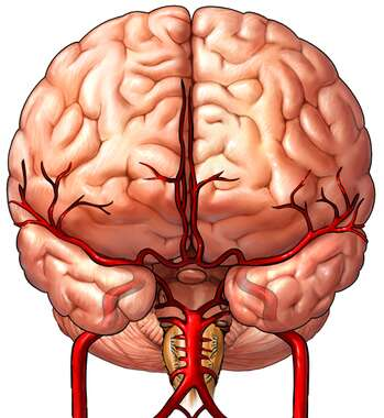 Anterior View of the Brain with Arterial Supply