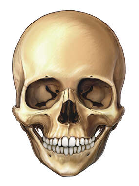 Anterior View of 6 Year Old Skull with 12 Teeth