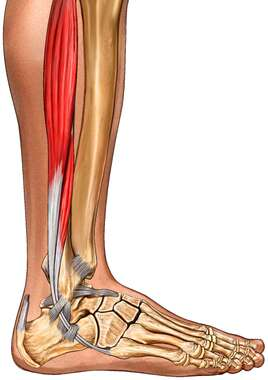 Lateral Muscles of Leg