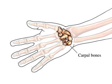 The Carpal Bones