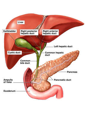 Anatomy of the Normal Biliary System