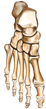 The Foot Bones: Superior View
