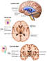 Anatomy of the Brain