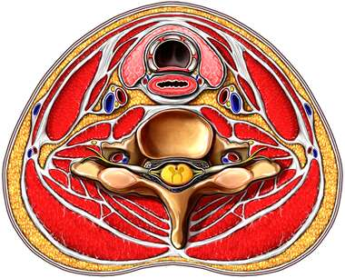 Cross-section of Neck