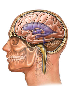 Head and Neck with Brain Ventricles, Lateral View