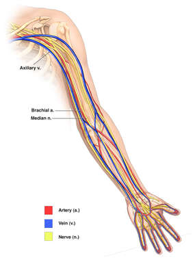 Anatomy of the Upper Extremity