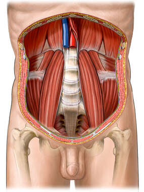 Posterior Abdominal Wall and Psoas Muscles