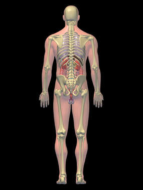 Anatomy of the Respiratory, Skeletal, Digestive and Renal Systems, 3D Posterior Male-Black background