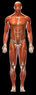 Muscular System - 3D Male