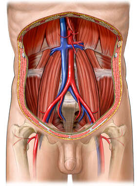 Posterior Abdominal Wall and Abdominal Vessels