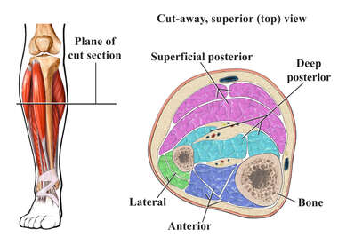 Cross Section of Lower Leg