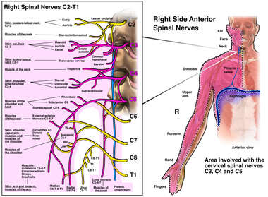 Cervical Spinal Nerves
