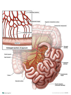 Blood Supply of the Small Intestine