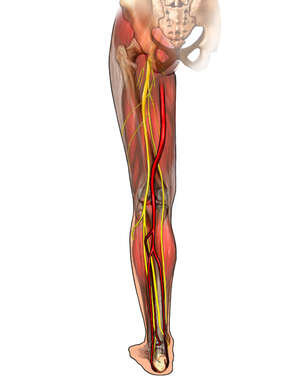 Muscles and Nerves of the Thigh and Lower Leg, Posterior View