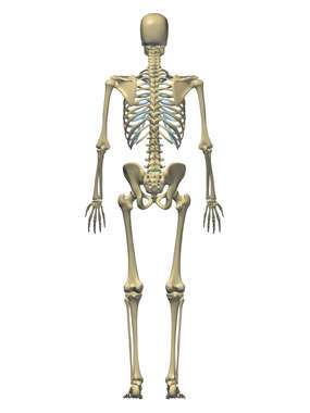 Anatomy of the Skeletal System, 3D Posterior Male